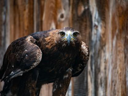 Ein  auf einem Holzstück sitzender Adler blickt direkt in die Kamera.