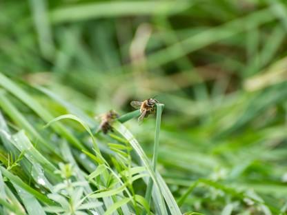 Eine Biene die Rgentropfen trinkt, die an einem Grashalm hängen. (Foto: Arman Kalteis)