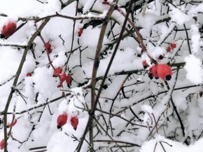 Schneebedeckte Hagebuttenrosen. (Foto: GTM Daniel Brandtner)