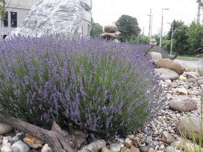 Blühender Lavendel in Steinbeet. (Foto: Daniel Brandtner)