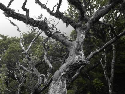Ein knorriger Baum fast ohne Blätter wächst über den Bildrand hinaus. Im Hintergrund dominiert der Wald. (Foto: Gerhard Hallstatt)