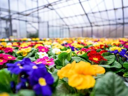 Hunderte Jungpflanzen in einem Glashaus der Stadtgärtnerei blühen bereits und bieten ein farbenfrohes Spektakel.