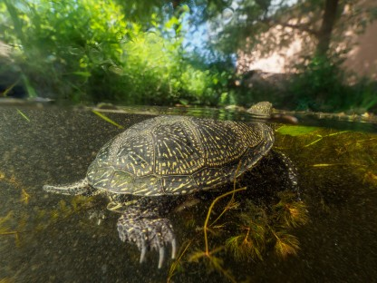 Eine Europäische Sumpfschildkröte schwimmt im Wasser. Auf dem Foto ist sowohl der Bereich unter als auch ober der Wasseroberfläche zu sehen. (Foto: Benedikt Reisner)