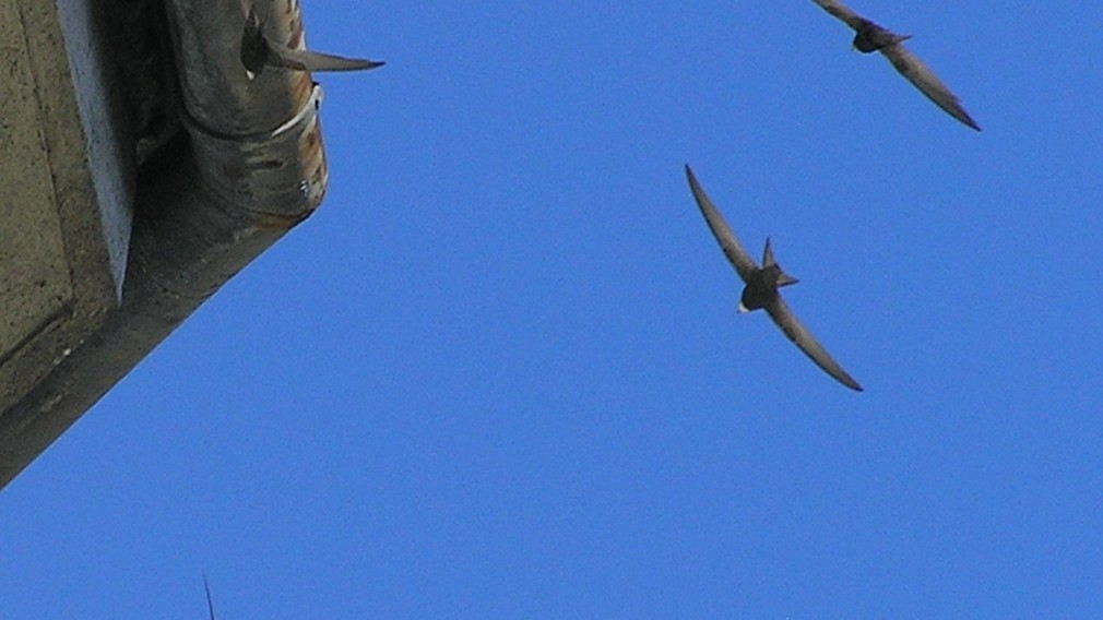 Mauersegler am blauen Himmel. (Foto: Michael Stocker)