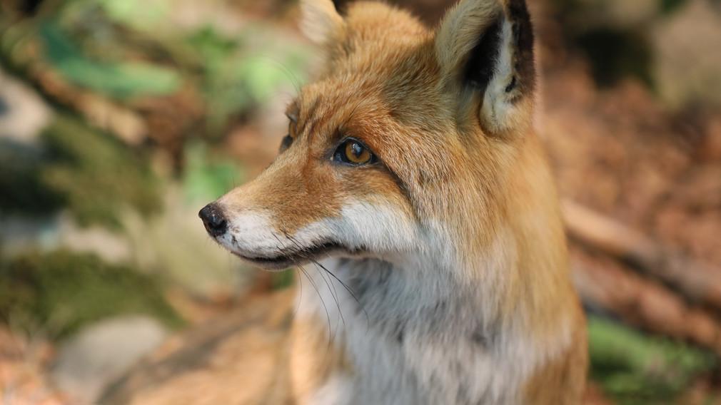 Ein Portrait von einem Fuchs. (Foto: Otto Sibera)